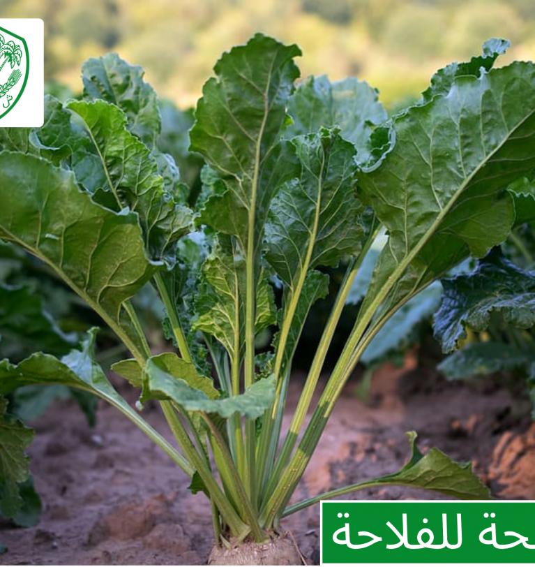 Conseil aux agriculteurs: parcelle de la betterave à sucre dans la région du Gharb